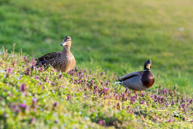Mallards surrounded by greenery in a field under the sunlight
