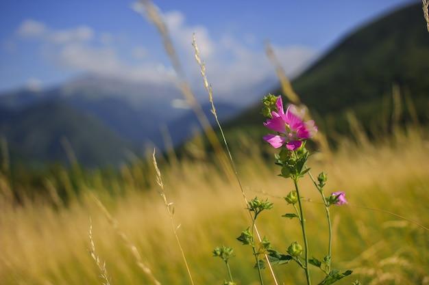 Tian shan 산악 지역의 초원과 도랑에서 자라는 mallow moschata 종