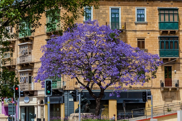 Malta valletta june 16, 2019: the flowering tree with purple flowers on the street on the background of a brown residential house. beautiful spring cityscape in malta.