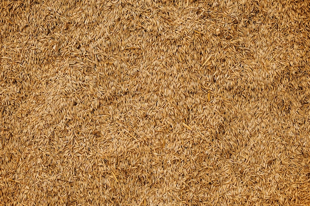 Malted wheat grain texture. rich harvest concept. grains close-up.