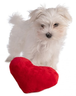 Maltese bichon puppy with a heart