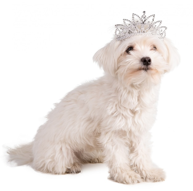 Maltese bichon with a queen crown