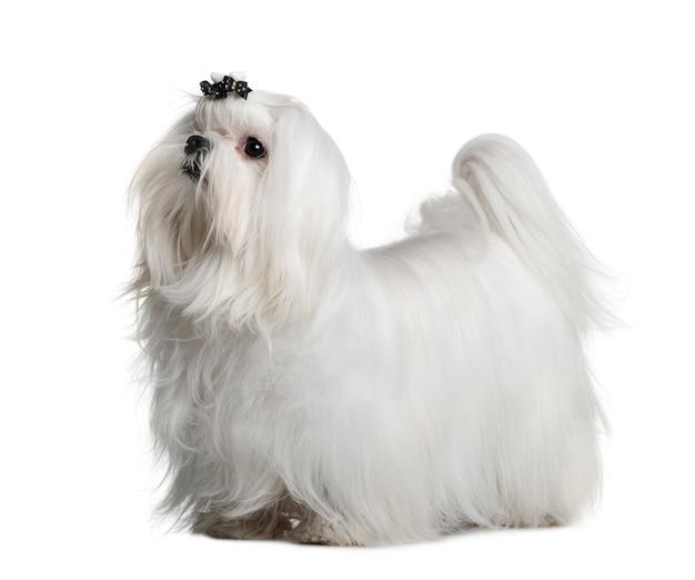 Мальтийская собака, 1 год, стоя