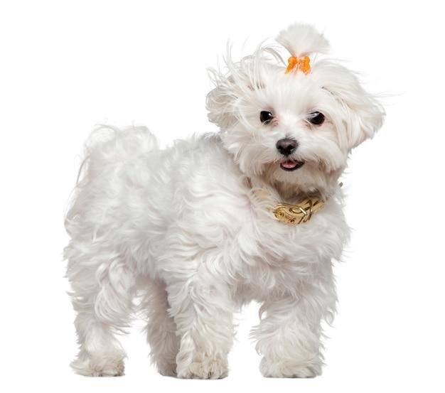 몰타어 강아지, 3 세, 흰 벽 앞에 서