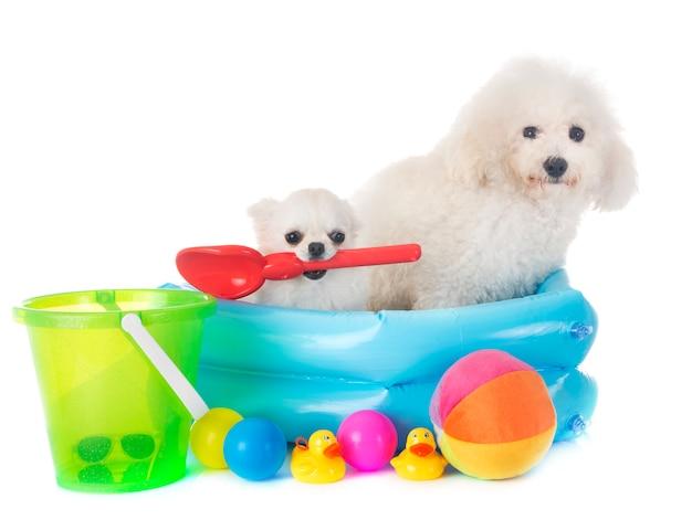 Maltese dog and chihuahua