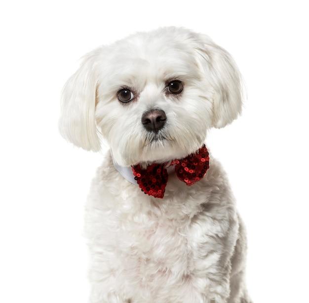 白い表面に対して蝶ネクタイのマルタの犬