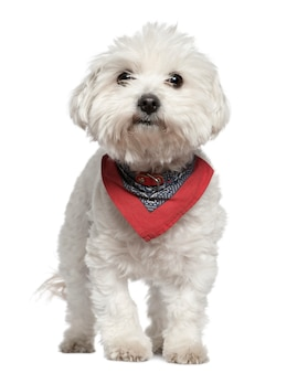 Мальтийская собака в платке, 3 года, стоит перед белой стеной