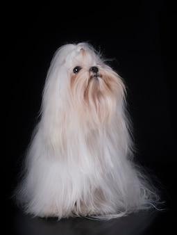 Мальтийская собака в студии