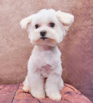ヴィンテージに座っているマルタの犬の子犬