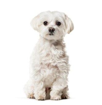 흰색 표면에 앉아 몰타어 개