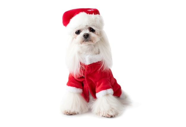 Maltese dog wearing red christmas suit and hat looking at the camera isolated on white