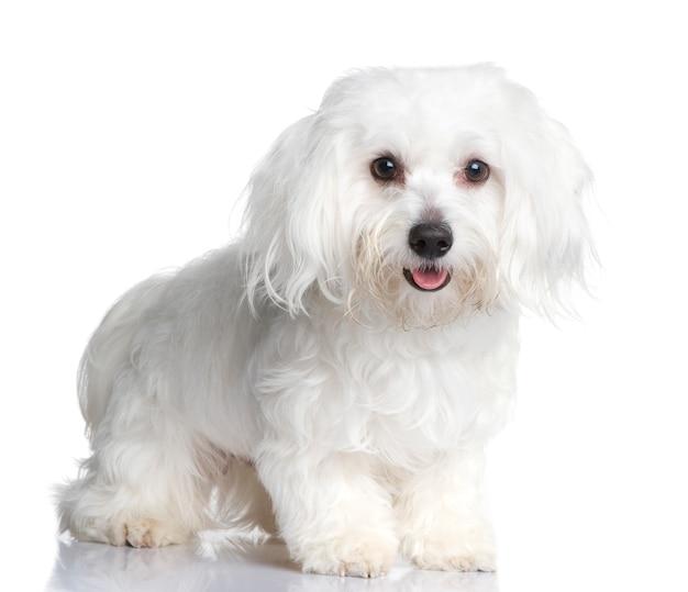 1年のマルチーズ犬。分離された犬の肖像画