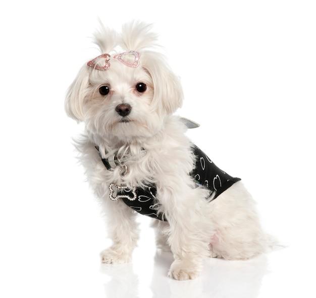 Мальтийская собака с 2 лет. портрет собаки изолированный