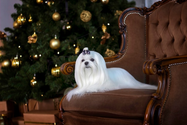 Maltese lapdog in a chair