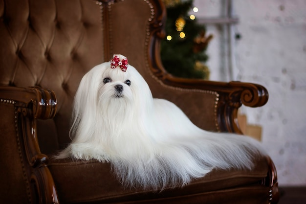 Maltese lapdog in a chair