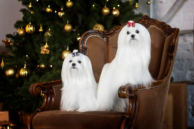 의자에 몰타어 lapdog