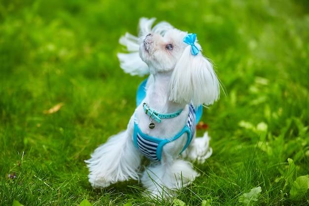잔디에 공원에서 몰타어 lapdog