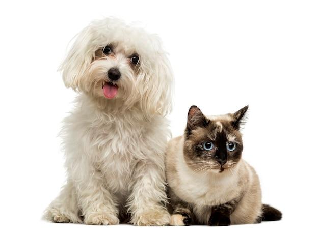 Мальтийский задыхающийся и бирманский кот, изолированные на белом фоне