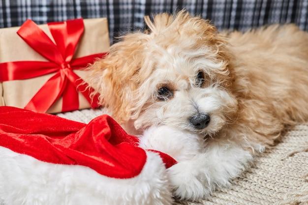 Maltipoo puppy chewing on santa hat near christmas gift box