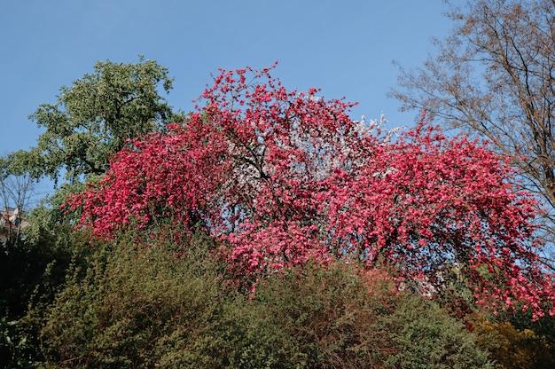 Malus blossom tree