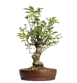 Malus perpetu bonsai 나무, 흰색 절연