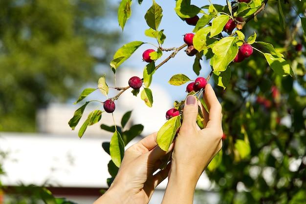 Malus pumila. сбор райских яблок.