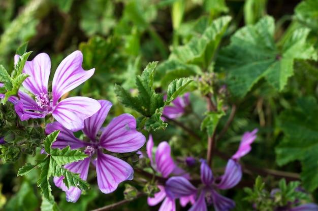 Malva sylvestris flowers.