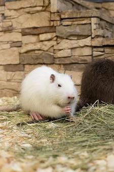 Млекопитающее. пушистая белая нутрия с белыми усиками лапками принимает пищу. животные. грызун