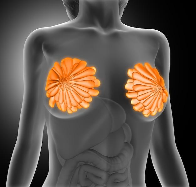 Молочные железы женщины