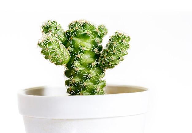 Mammillaria gracilis cactus in pot