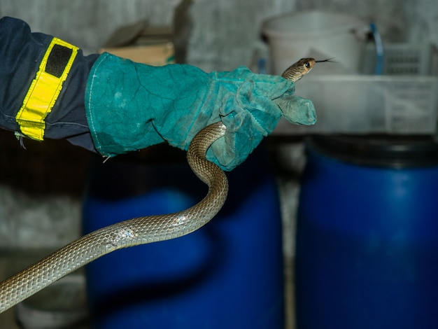 A man catch a ratsnake in resident by leaher safety glove