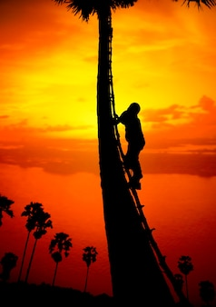 Man climbing a sugar palm tree to collect sap in the countryside