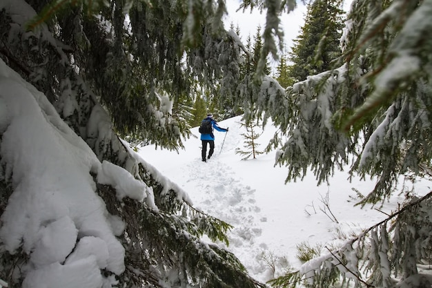 A man climbs a trodden path uphill, in the foreground perennial pine trees in the snow