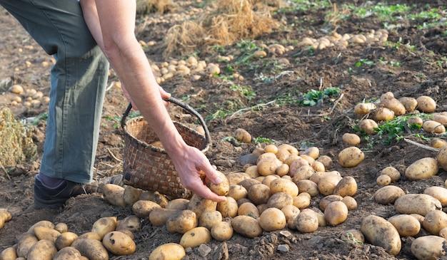 Мужчина собирает только что собранный картофель