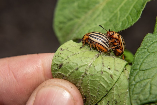 Man collects colorado beetles that eat leaves