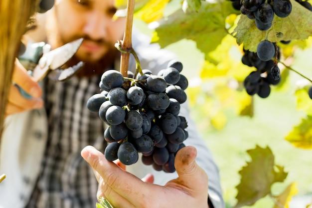 男はワイン用の黒ブドウの熟した束を収穫します。ブドウ畑でワインを作るために秋のブドウの収穫を選ぶ男性の手。