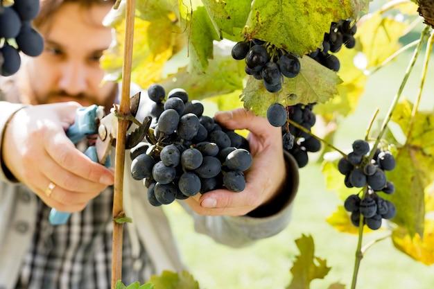 포도 나무에 검은 포도의 잘 익은 무리를 자르는 사람. 포도원에서 와인을 만들기 위해 가을 포도 수확을 따는 남성의 손. 까베르네 소비뇽, 메를로, 피노 누아, 산지오베제 포도 품종.