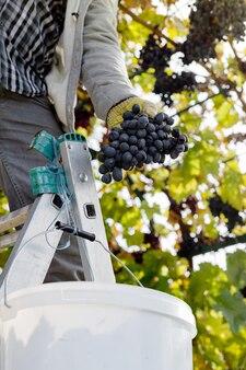 포도 나무에 검은 포도의 남자 자르기 익은 무리 남성 손 와인 만들기를위한 가을 포도 수확을 따기