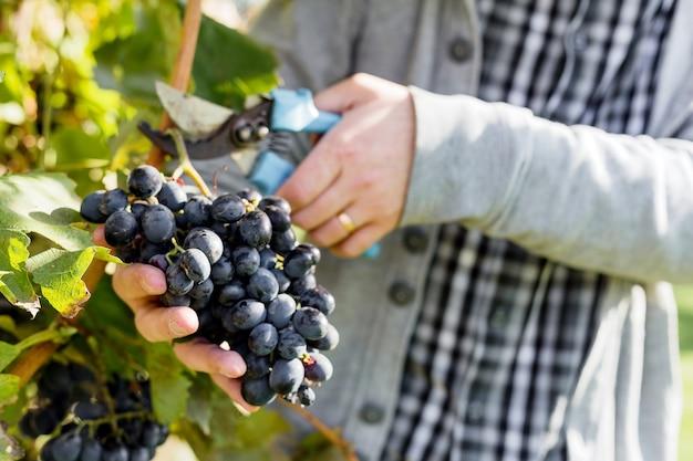 男はブドウの木に黒ブドウの熟した束を収穫します