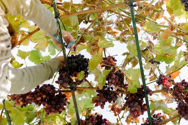 포도 나무에 붉은 포도의 잘 익은 무리를 자르는 사람. vintner 남자는 포도원에서 음식이나 와인을 만들기 위해 가을 포도 수확을 따고 있습니다. 붉은 씨 없는 포도 포도 분류.