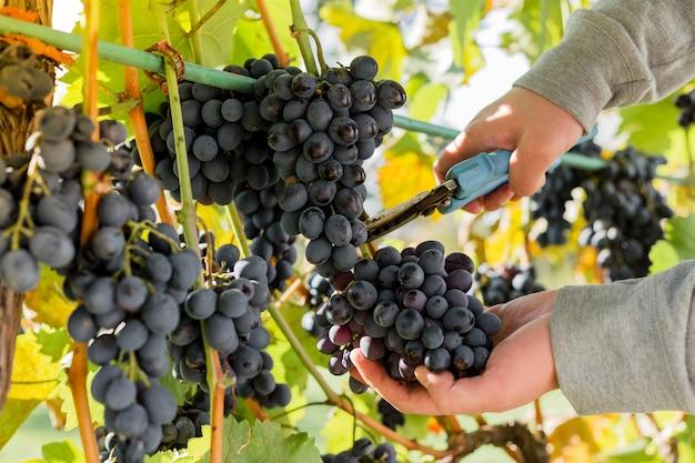 포도 나무에 흰 포도의 잘 익은 무리를 자르는 사람. 포도원에서 와인을 만들기 위해 가을 포도 수확을 따는 남성의 손. 까베르네 소비뇽, 메를로, 피노 누아, 산지오베제 포도 품종.