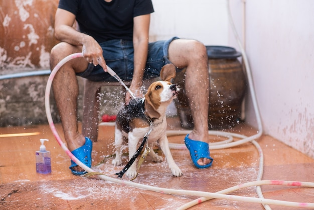 Man and cute puppy beagle taking a shower