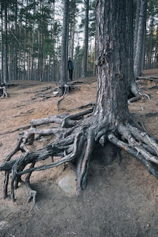 A man in a dark pine forest among trees with bare bizarre roots