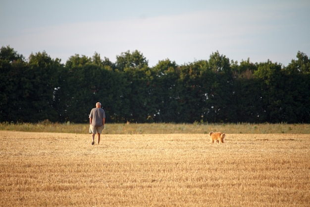 A man and a dog walk along a mowed field of wheat, a golden stubble after harvest.