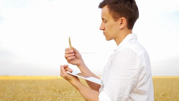 Мужчина изучает колосок спелой пшеницы и печатает текст на планшете на золотом поле.