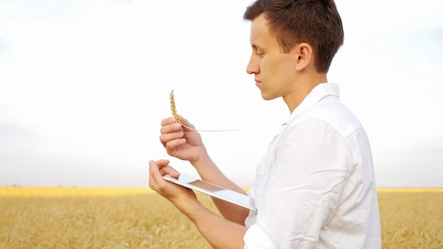 Man examines an ear of ripe wheat and types text on a tablet in a gold field.