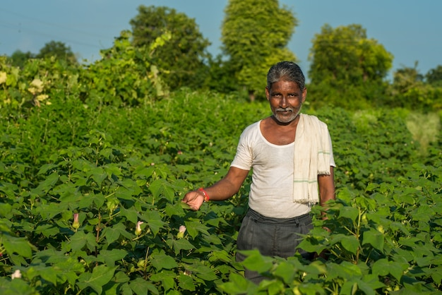 A man farmer in a cotton farm examines and observing the field.