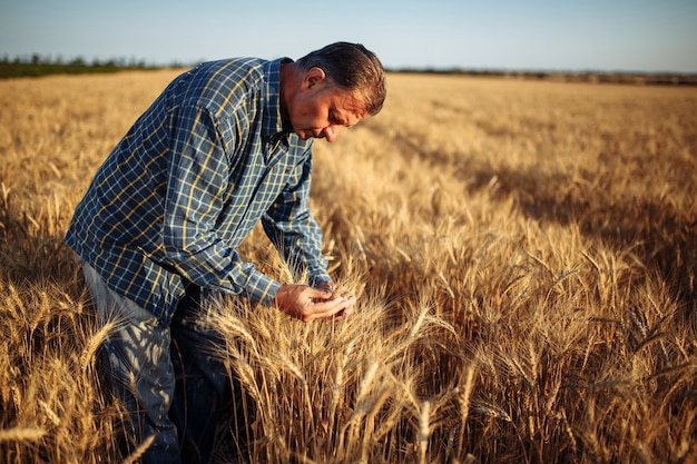 A man farmer examines the quality of the new crop of grains in the middle of the wheat field.
