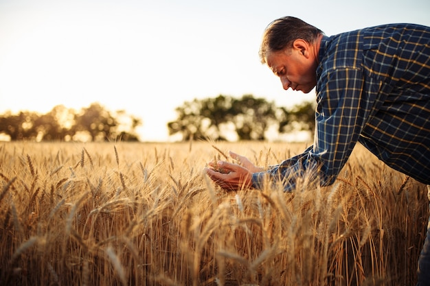 A man farmer examines the quality of the new crop of grains in the middle of the wheat field