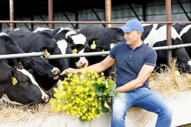 男の農夫は農場で牛に餌をやっています